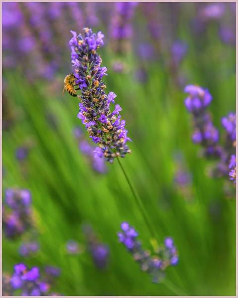 Photograph - The Scent Of Lavender by Harriet Feagin