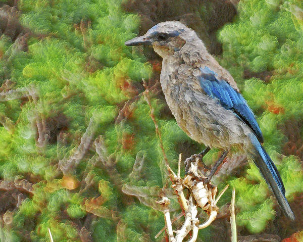 Scrub Jay Photograph - The Scrub Jay by Ernie Echols