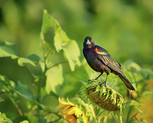 Red-winged Blackbird Wall Art - Photograph - The Seed Head - Red-winged Blackbird by Nikolyn McDonald