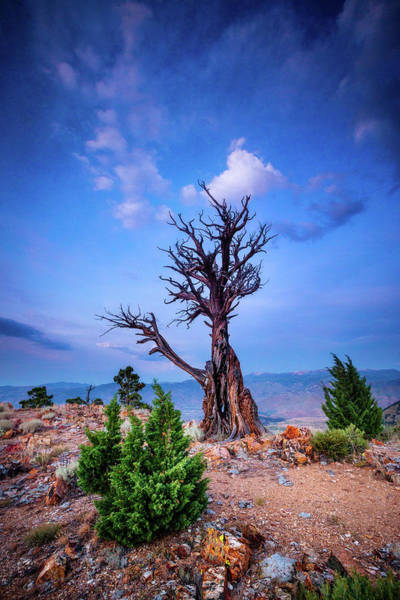 Juniper Photograph - The Sentinel Still Stands by Dan Holmes