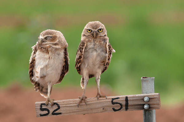 Photograph - Burrowing Owls by Tam Ryan