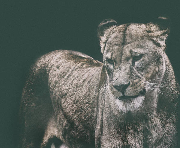 Wall Art - Photograph - The Shy Lion by Martin Newman
