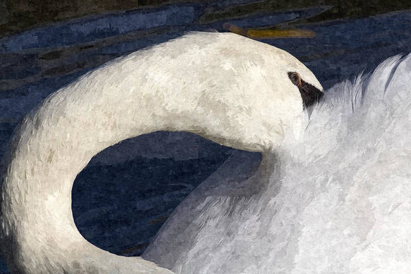 Wall Art - Photograph - The Shy Swan Art by David Pyatt