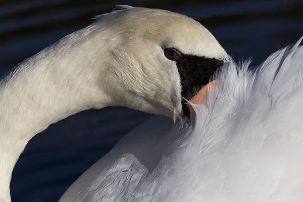 Wall Art - Photograph - The Shy Swan by David Pyatt