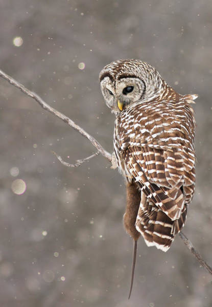 Barred Owl Photograph - The Silent Hunter by Mircea Costina Photography