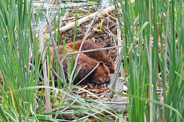 Woodcock Photograph - The Sleeping Beavers by Asbed Iskedjian