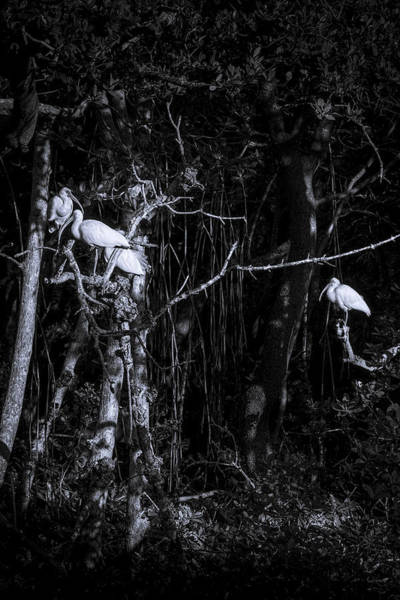 White Ibis Wall Art - Photograph - The Sleeping Quaters by Marvin Spates