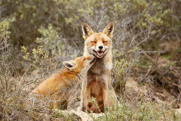 Suckling Wall Art - Photograph - The Smiling Vixen And The Happy Kit by Roeselien Raimond