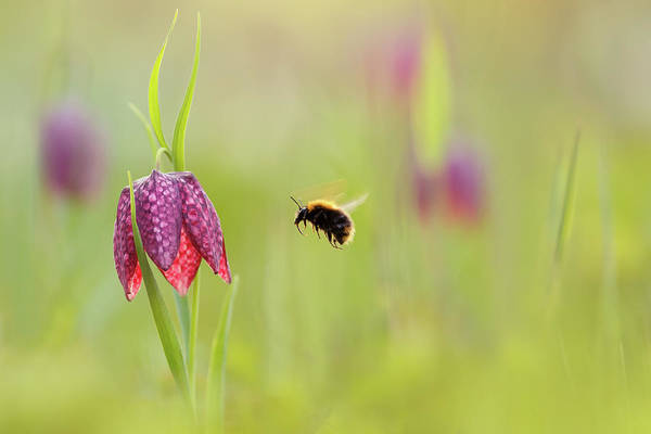 Fritillaria Photograph - The Snake's Head And The Bumblebee - Fritillaria Meleagris by Roeselien Raimond