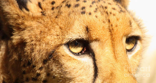Wall Art - Photograph - The Soft Eyes Of A Cheetah by Max Allen