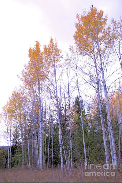 Photograph - The Song Of The Aspens by Victor K