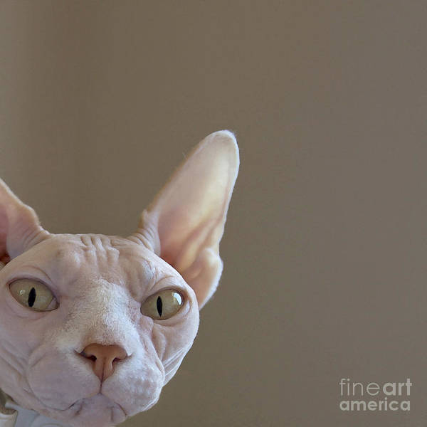Tan Cat Wall Art - Painting - The Sphynx by Glennis Siverson