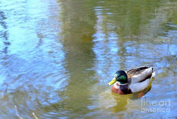 Photograph - The Spring Solitude Of Duck  by Marina Usmanskaya