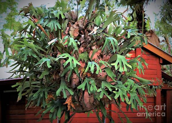 Staghorn Fern Photograph - The Staghorn Fern by Diann Fisher