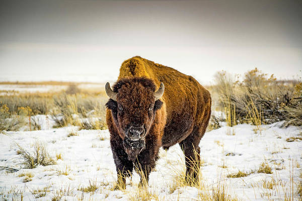 Bison Photograph - The Stare Down by Peter Irwindale