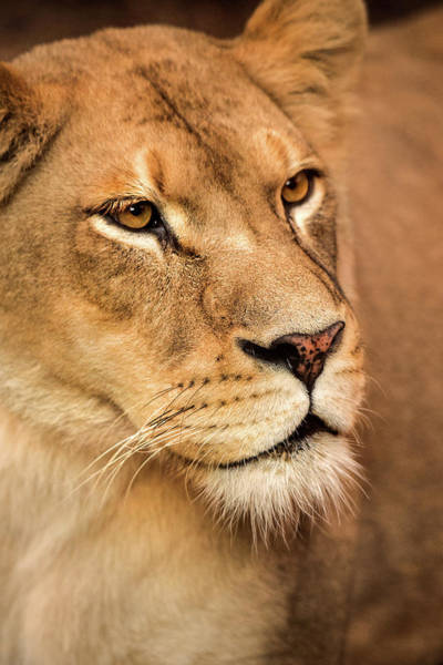Photograph - The Stare-female Lion by Don Johnson