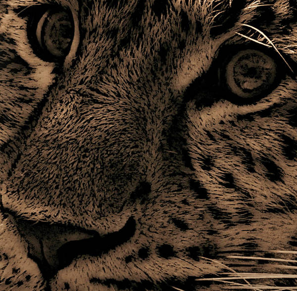 Panthera Pardus Photograph - The Stare by Martin Newman