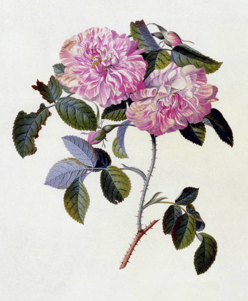 Wall Art - Painting - The Striped Monthly Rose by Georg Dionysius Ehret