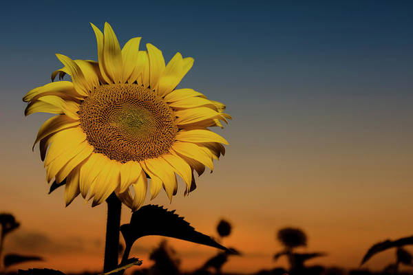 Photograph - The Sunflower by CA Johnson