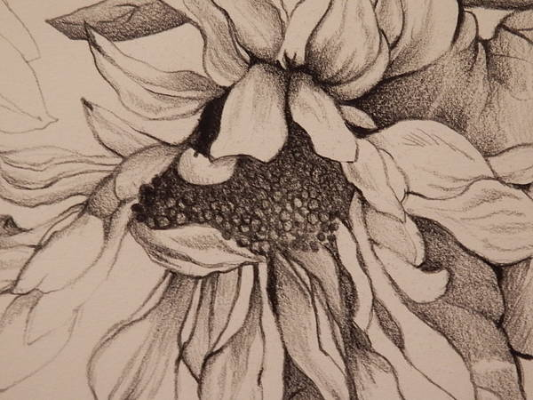 Sunflower Seeds Drawing - The Sunflower by Catherine Robertson