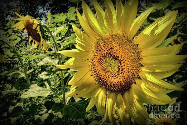 Wall Art - Photograph - The Sunflower by Paul Ward