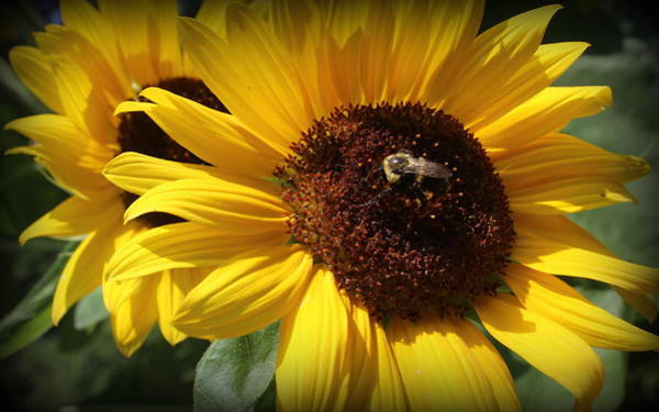 Wall Art - Photograph - The Sunflowers Of Late Summer by Dora Sofia Caputo Photographic Design and Fine Art
