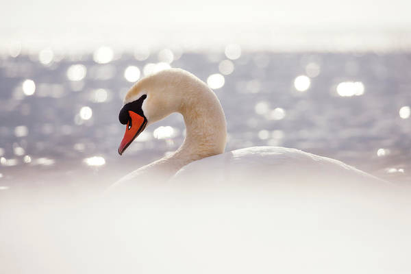Mute Swan Photograph - The Swan And  The Snow by Roeselien Raimond