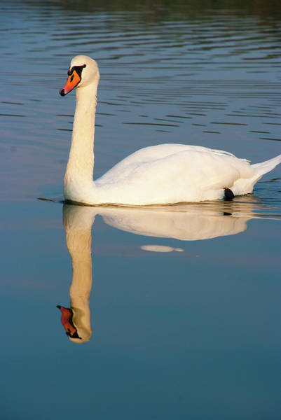Photograph - The Swan by Marco Busoni