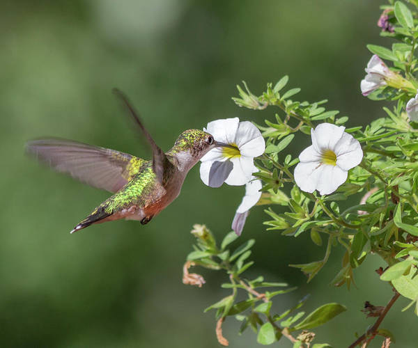 Beautiful Hummingbird Photograph - The Sweet Hummingbird by Betsy Knapp