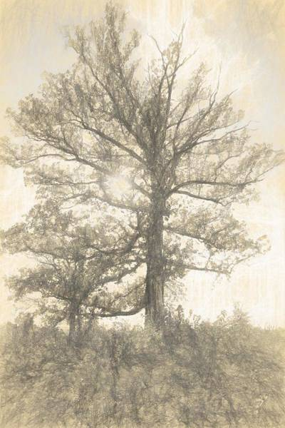 Drawing - The Sycamore by Dan Sproul