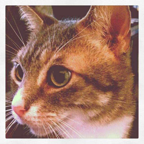 Photograph - The Tabby Of My Heart ..grey...an Older by Tammy Winand