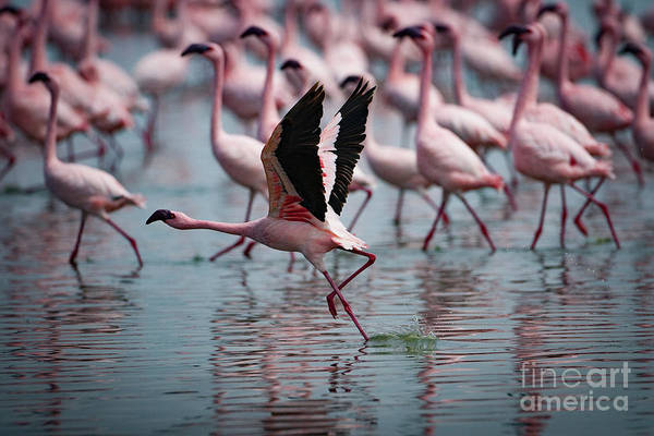 Flamingos Wall Art - Photograph - The Take Off by Smart Aviation