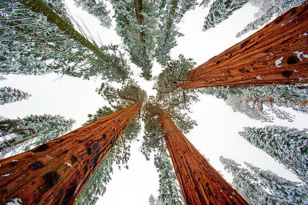 Sequoia Grove Photograph - The Tall Ones by Brian Knott Photography