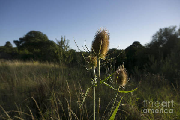 Wall Art - Photograph - The Teasel by Smart Aviation