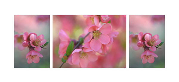 Photograph - The Tender Spring Blooms. Triptych by Jenny Rainbow