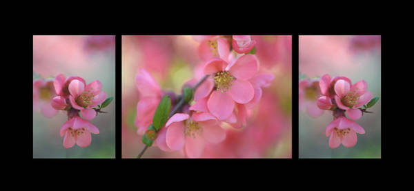 Photograph - The Tender Spring Blooms. Triptych On Black by Jenny Rainbow