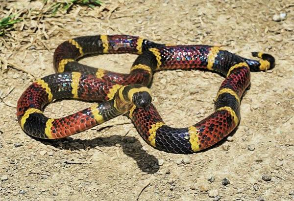 Photograph - The Texas Coral Snake by JC Findley