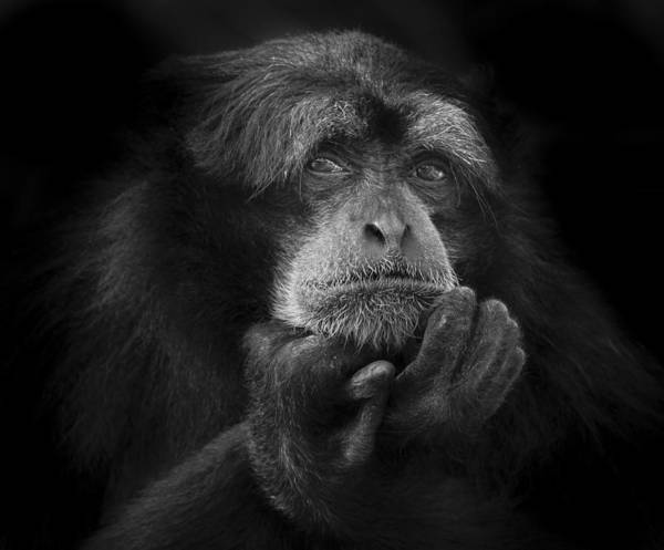 Photograph - The Thinking Monkey by Ken Barrett