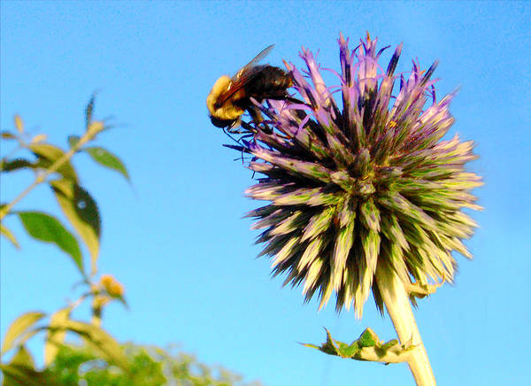 Photograph - The Thistle And The Bee. by Roger Bester