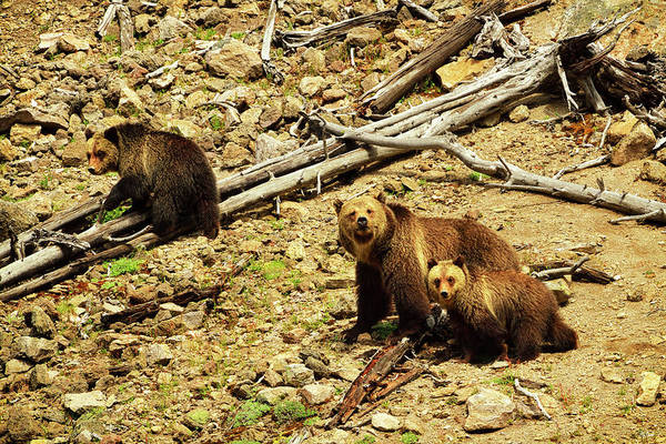 Photograph - The Three Bears by Greg Norrell