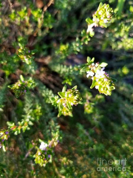 Photograph - The Thyme Of Day by Rachel Hannah