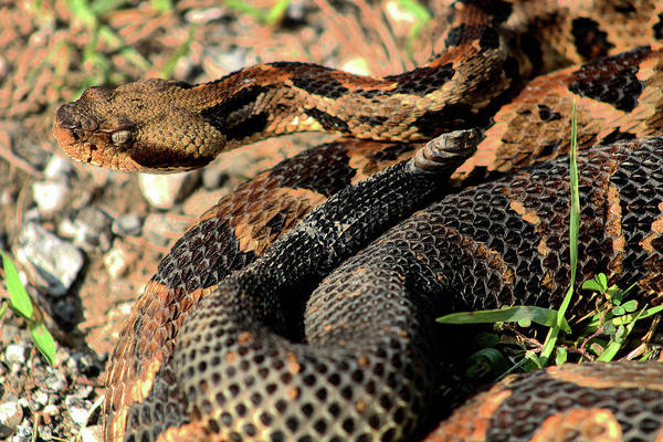 Photograph - The Timber Rattlesnake by Kyle Findley