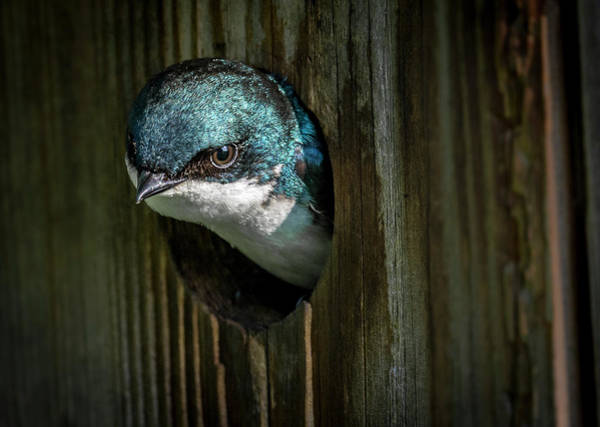 Photograph - The Tree Swallow by Francisco Gomez