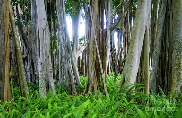 Indian Banyan Photograph - The Trees Have Eyes by Raleigh Art Gallery