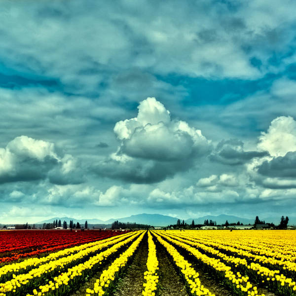 Photograph - The Tulip Fields Of Mt Vernon by David Patterson