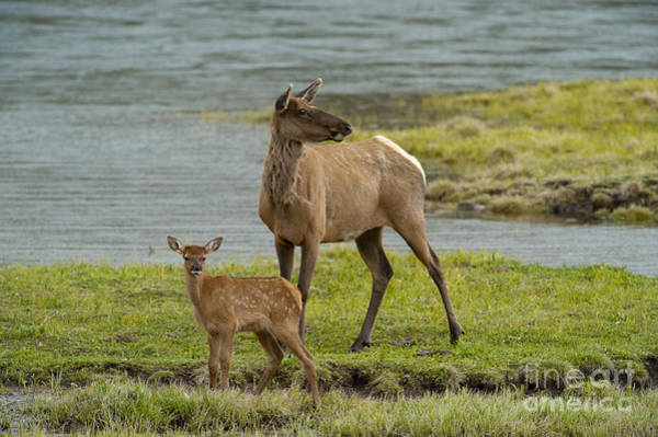 Wapiti Photograph - The Two Of Us by Sandra Bronstein