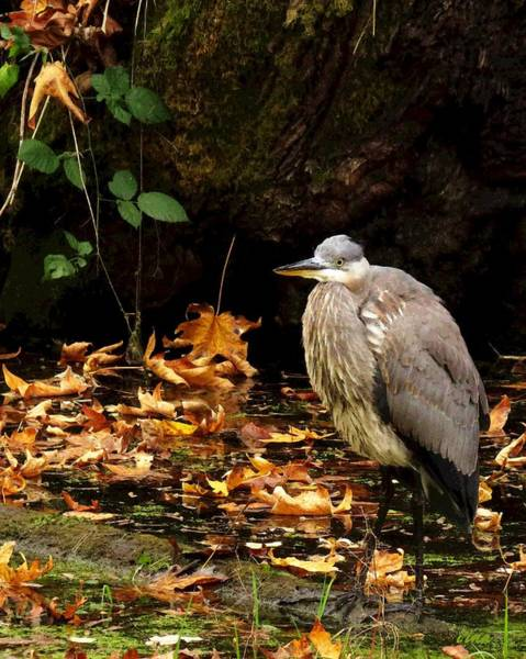Great Blue Heron Mixed Media - The Ultimate Morning by I'ina Van Lawick