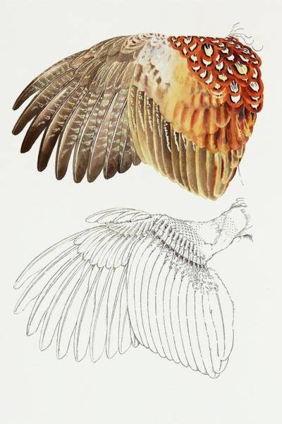 The Upper Side Of The Pheasant Wing Art Print