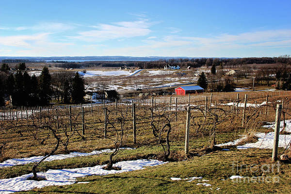 Photograph - The Vineyard On Old Mission by Laura Kinker