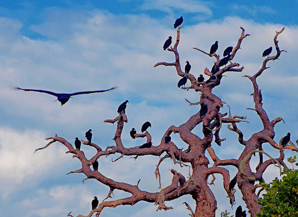 Photograph - The Vulture Tree by Karl Ford